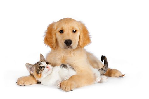 Dok 01 Rk0598 01 Calico Tabby Kitten And Golden Retriever Puppy