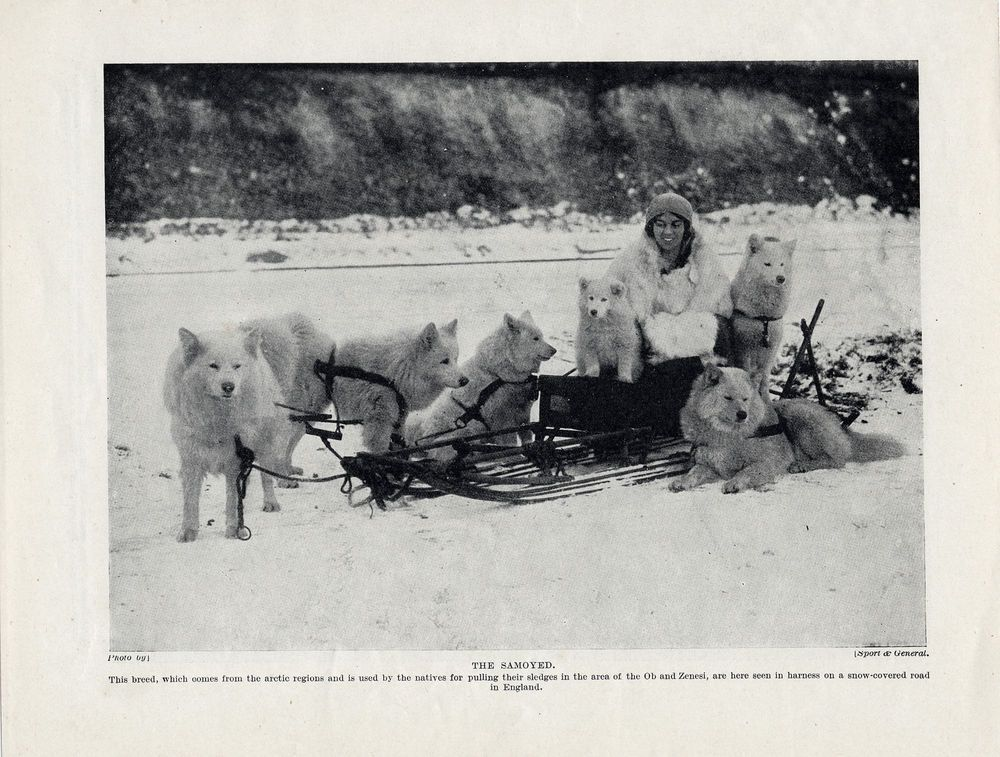 SAMOYED DOGS YOUNG LADY IN SLED SET IN SNOW SCENE OLD ORIGINAL 1934 DOG PRINT