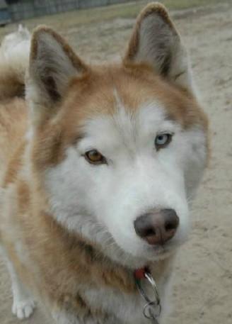 Siberian Husky Dog For Adoption In Raleigh Nc Adn 257832 On
