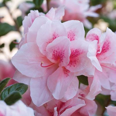 When To Plant Azaleas Other Common Questions Reblooming Flowers Shade Loving Shrubs Azalea Shrub