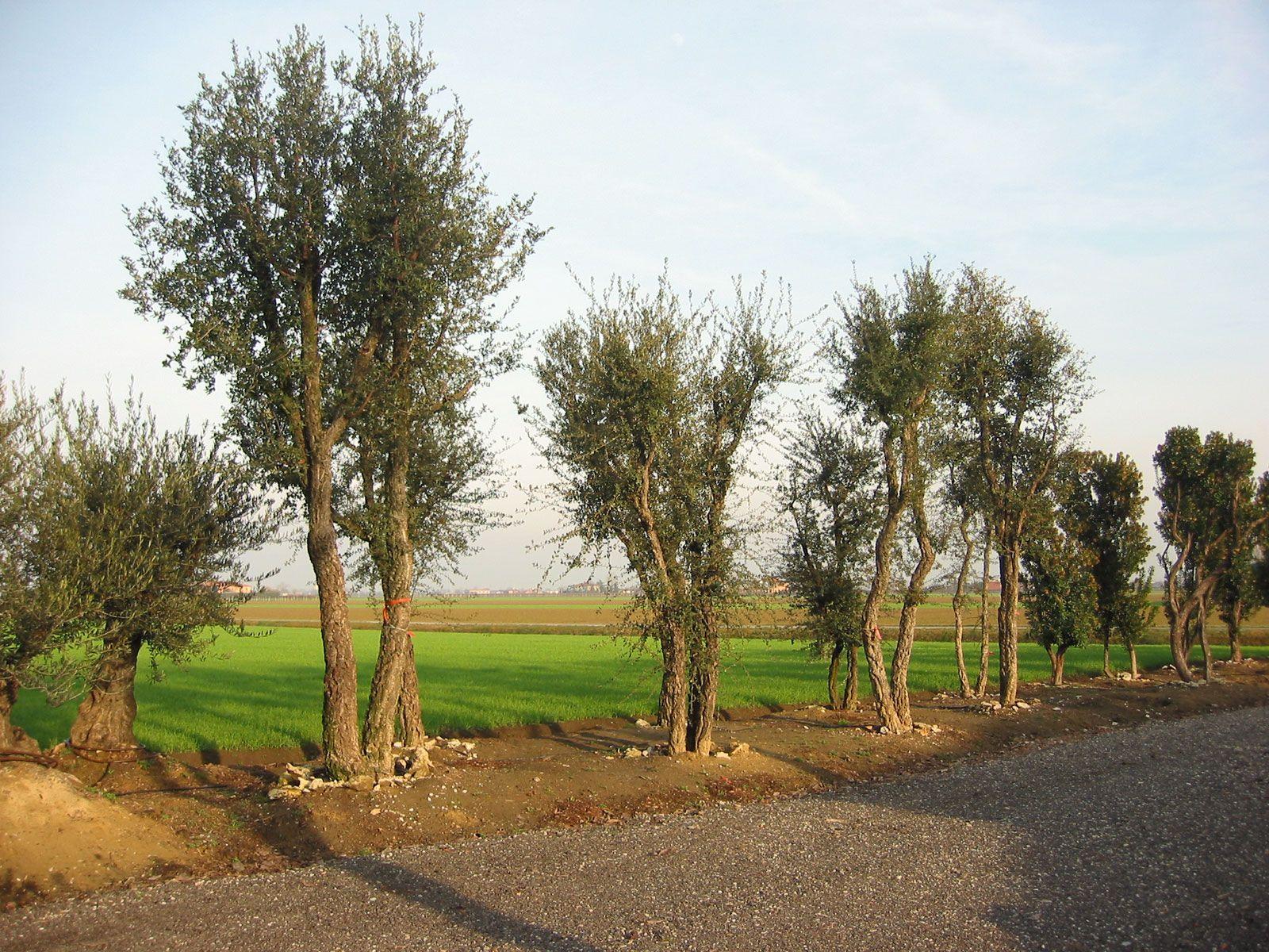 Quercia da sughero dalla pregevole corteccia da piantumare - Sughero pianta da giardino ...
