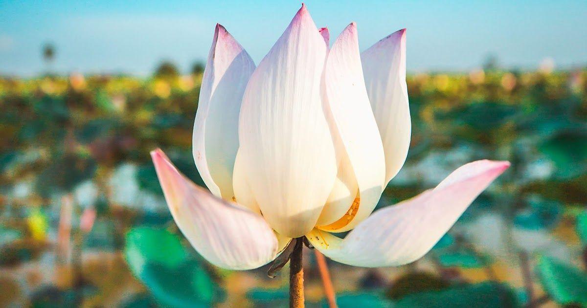 27 Gambar Bunga Gambaran Di 2020 Bunga Sakura Bunga Wallpaper Bunga