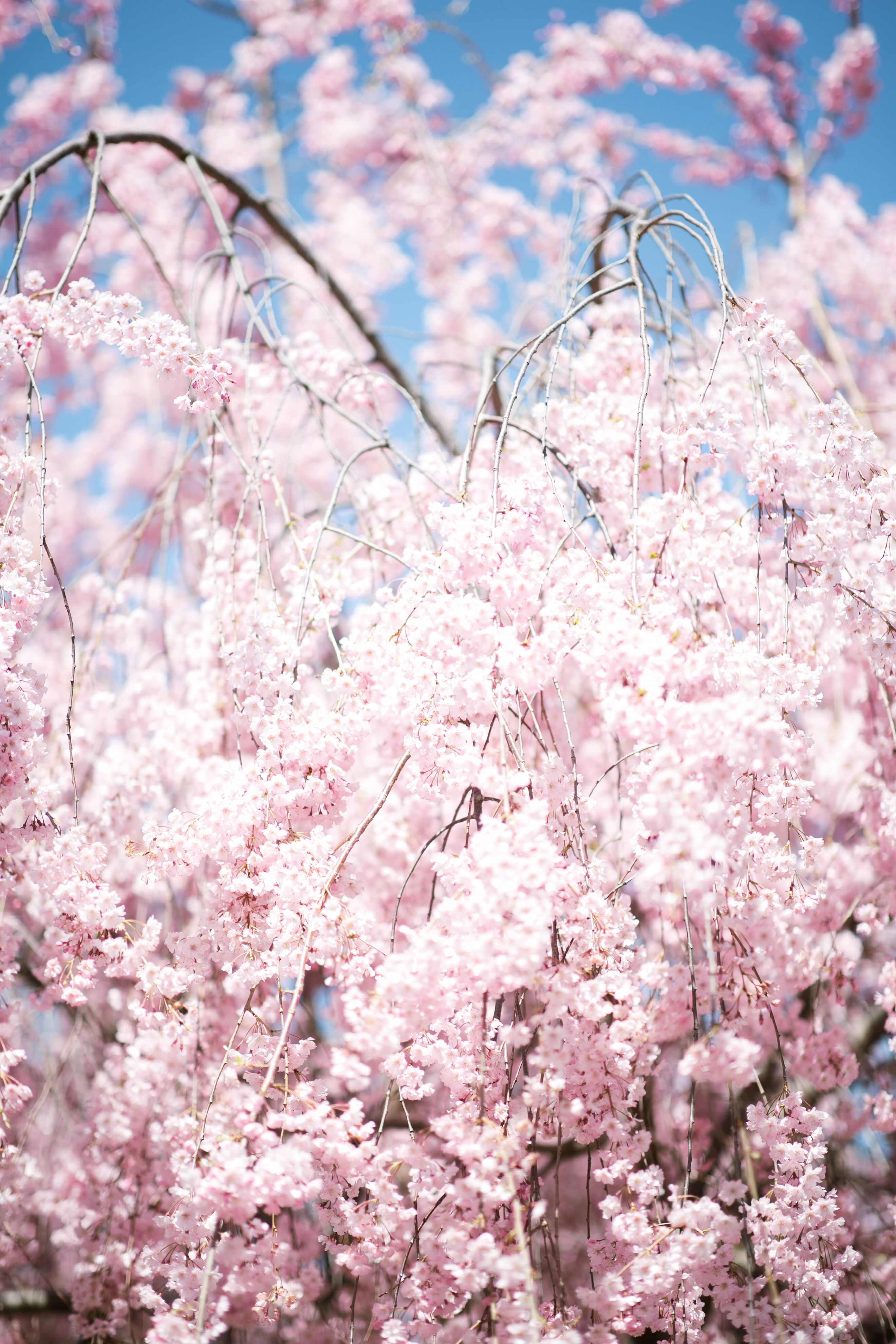 Cherry Blossoms Phone Wallpaper Images Phone Wallpaper Backgrounds Phone Wallpapers