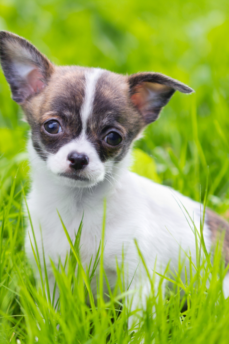 Small Puppy Chihuahua Sitting At The Grass Chihuahua Puppies Chihuahua Dogs Chihuahua Love