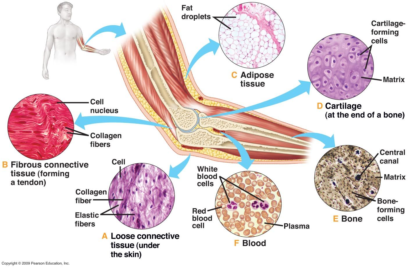 Connective Tissue Connects Body Parts Performs Many Functions