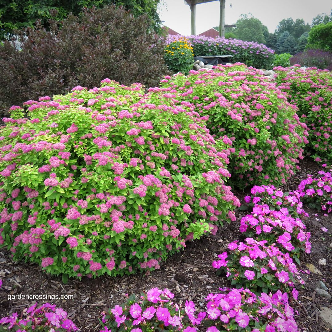 One Of The Most Tried And True Shrubs For All Gardeners Is Spiraea
