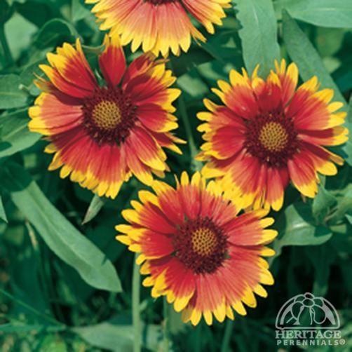 Plant Profile For Gaillardia Dazzler Blanket Flower Perennial Plants Perennials Red Petals