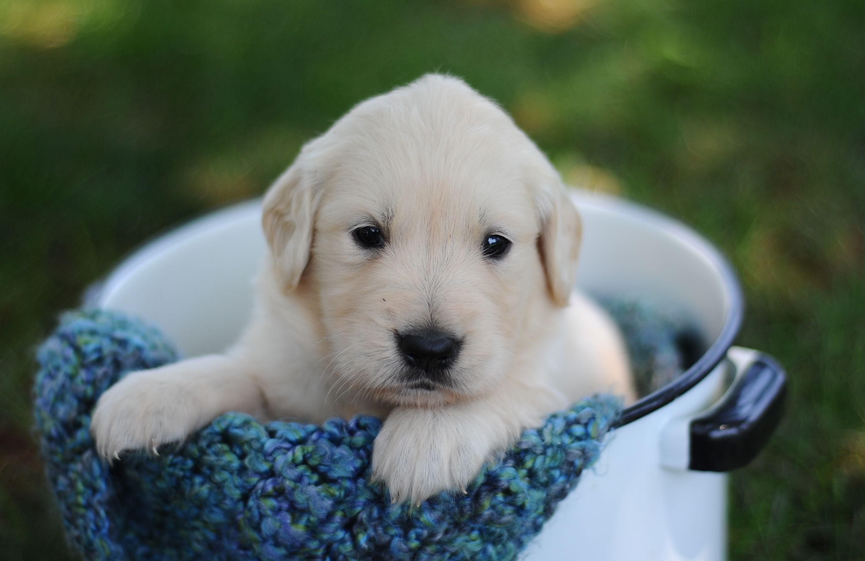 English Cream Golden Retriever Puppies For Sale Puppies Retriever Puppy Puppies For Sale