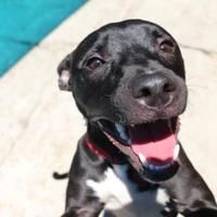 Pictures Of Leopold A American Pit Bull Terrier Mix For Adoption