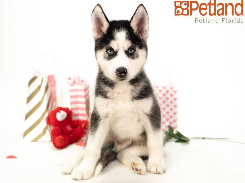 Puppies For Sale Husky Puppies For Sale Siberian Husky Puppies