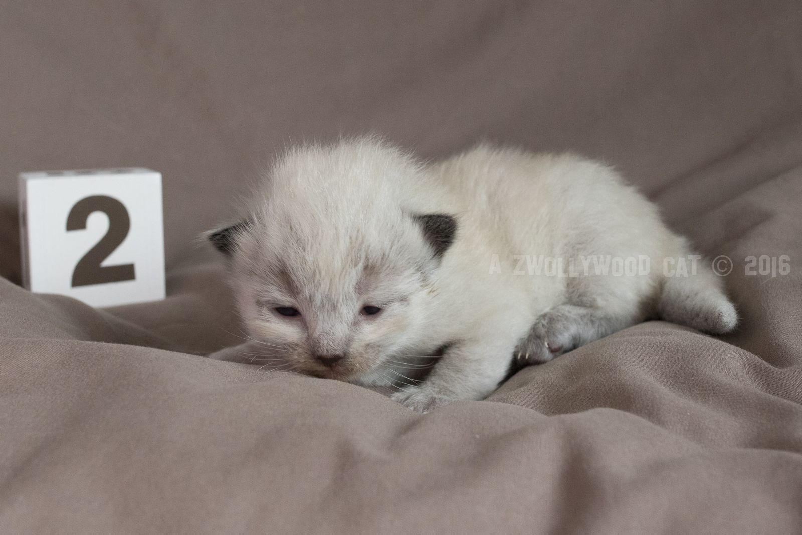 2016 Dino A Zwollywood Cat 2 Weeks Old Ragdoll Kitten Seal Colourpoint Flintstones Litter Ragdoll Kitten Fur Babies