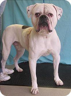 Rochester Hills, MI American Bulldog Mix. Meet Sparky a