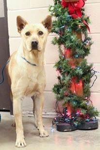 12/11/14-ODESSA URGENT-Shepherd/Heeler male 2 yRs old.neutered-extremely sweet-dog friendly-very afraid in the noisy shelter. Ask staff if you would like to meet me. The shelter is so full I'm not up front yet. Available NOW**** $51 to adopt Please ADOPT ME!!! Located at Odessa, Texas Animal Control. Must have a valid Drivers License and utility bill with matching address to adopt. They accept Credit Cards, cash or checks. Please send us a PM if we can answer any questions for you.