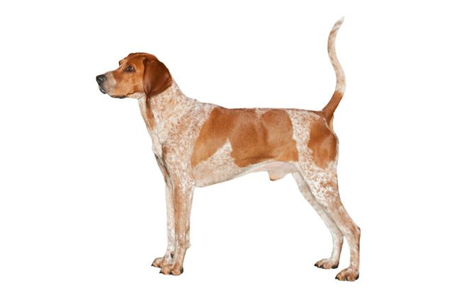 The English Coonhound Or The Redtick Coonhound Is A Breed Of Dog