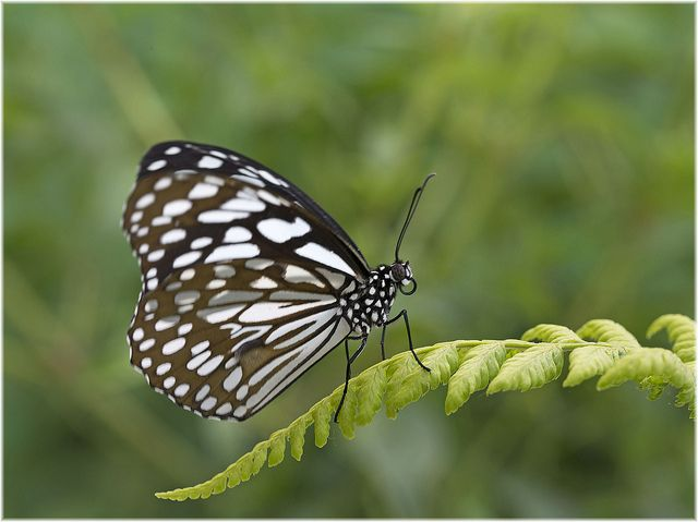 Blue tiger ( Danaus limniace) | Beautiful Creature!!!