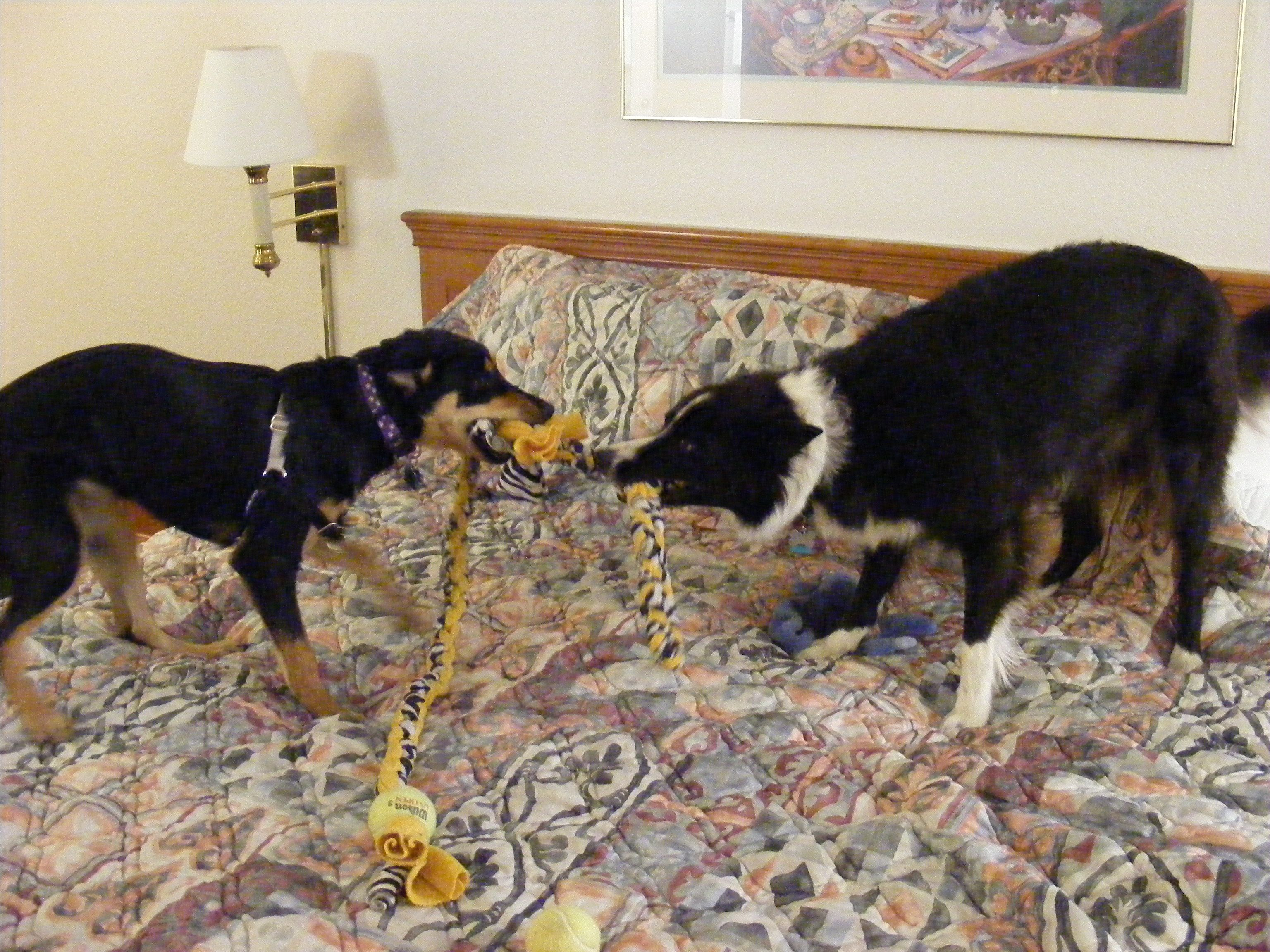 Logan and Birdie playing tug of war Tammy's Tugs at: http://www.etsy.com/listing/92864729/durable-fleece-machine-washable-dog-tug