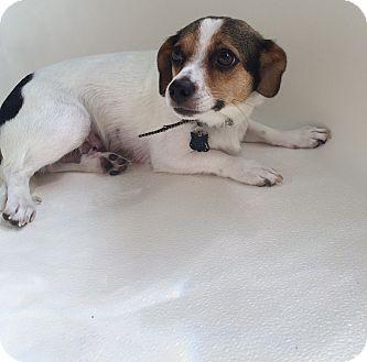 Chandler Az Toy Fox Terrier Beagle Mix Meet Reba A Dog For