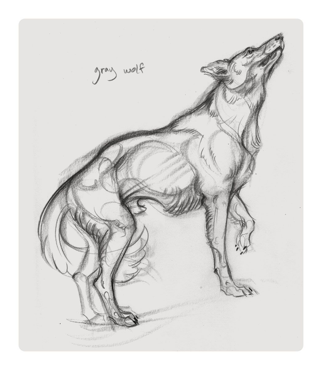 jaw cooper gray wolf | DRAWINGS | Pinterest | Gray wolf, Wolf and ...