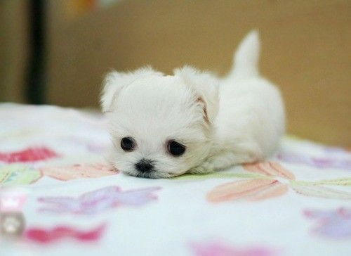 White Fluffy Puppy Teacup Maltese I Love Maltese Baby Animals Pictures Cute Animals Cute Baby Animals