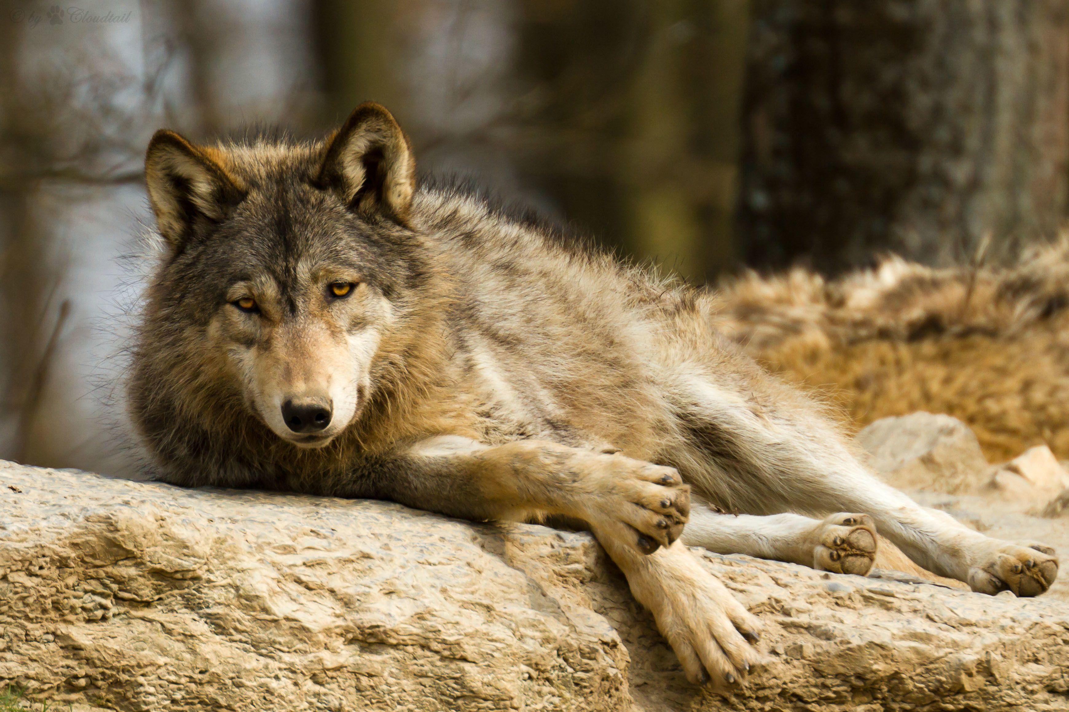 эффективной картинки фото волков в картинках последние дни зита