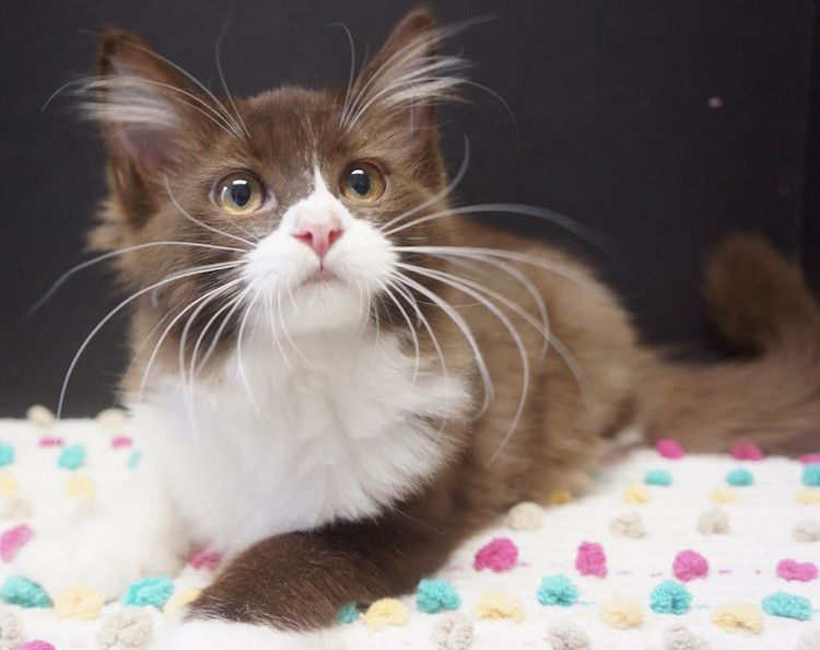 Idea by Maxine Stiles on Ragdoll Kittens for sale
