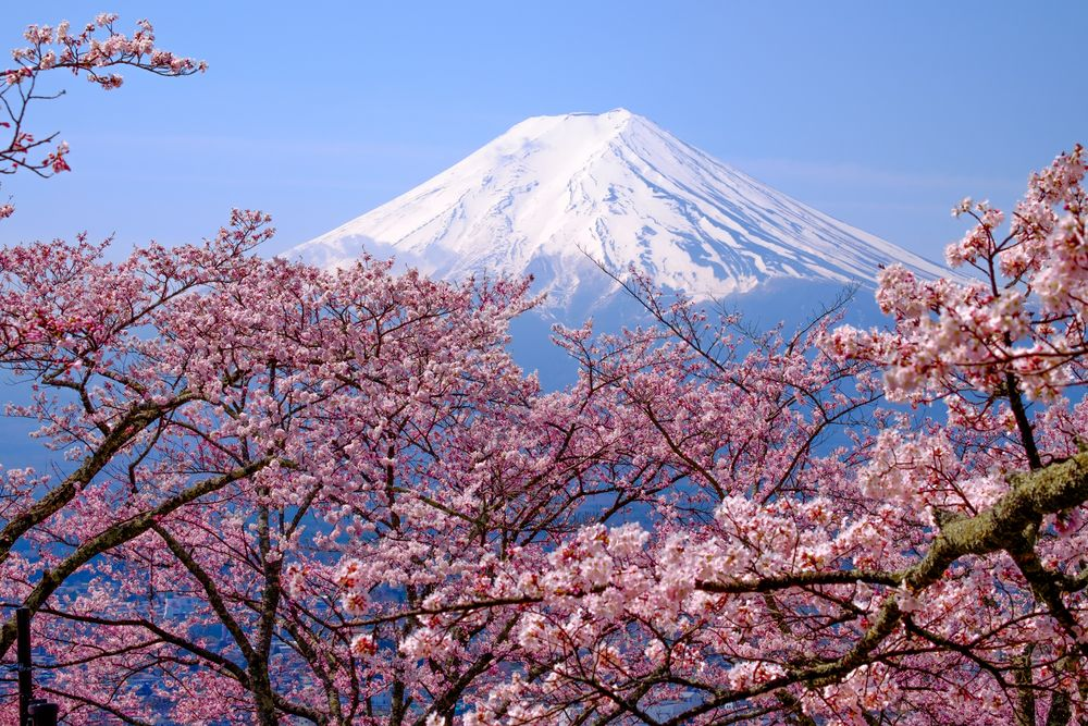 When To See Japan S Cherry Blossom Trees In Full Bloom Cherry Blossom Japan Cherry Blossom Tree Japanese Cherry Blossom