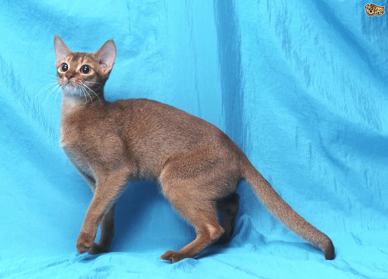 Abyssinian Cat Breed Abyssinian cats, Cat breeds, Cat