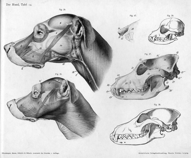 Animal anatomical engraving from Handbuch der Anatomie der Tiere für ...