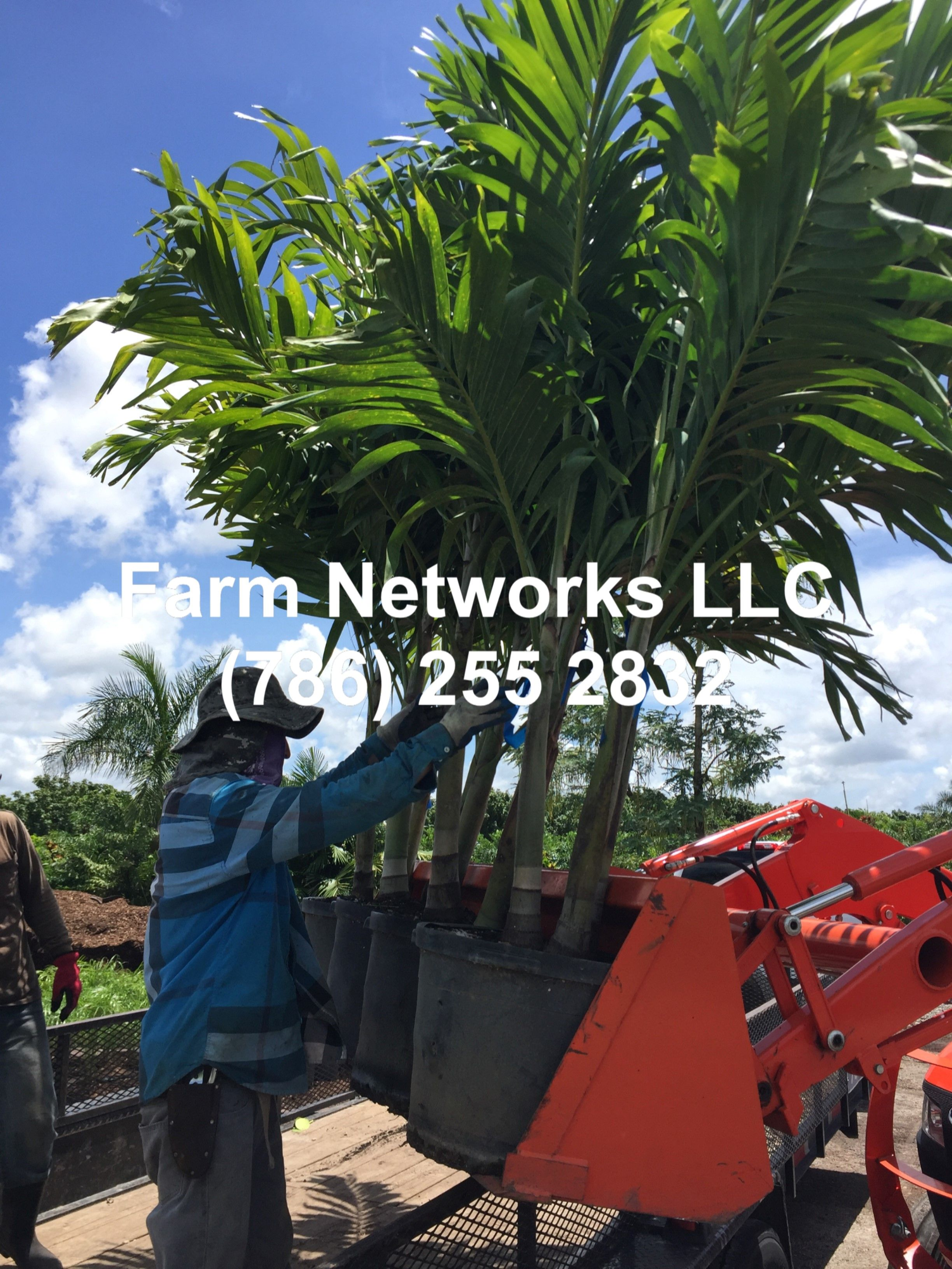 Field Grown Triple Christmas Palm Broward Hedges And Palm Trees