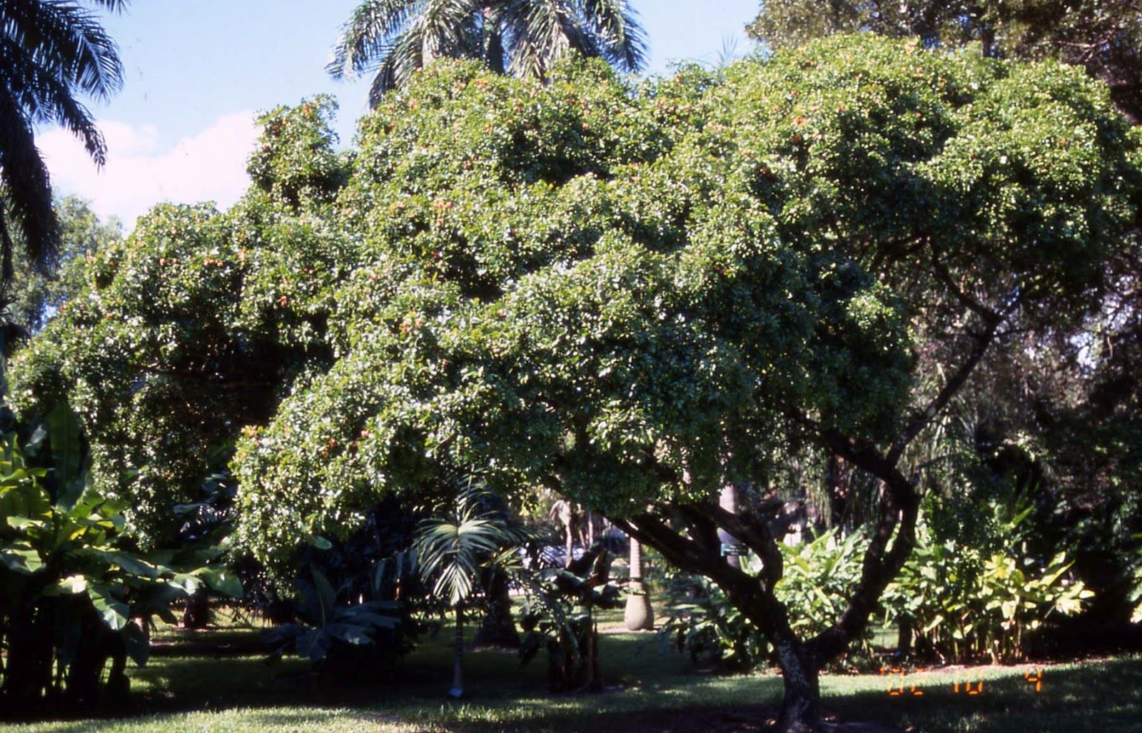 The Lignum Vitae National Tree Of The Bahamas Meaning