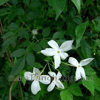 Kavathi Chafa Flowers Nature