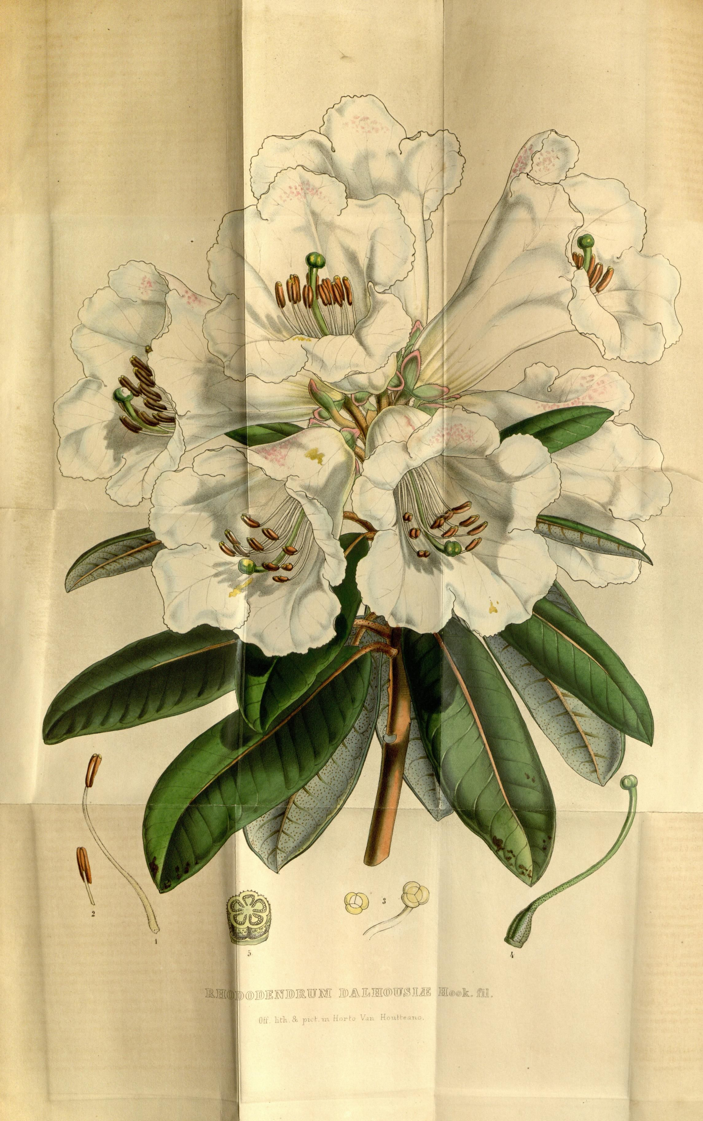 Rhododendron dalhouslæ Hook. fil.
