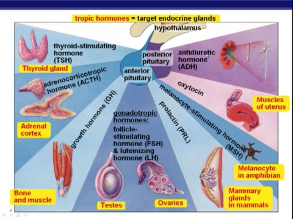 Tropic Hormones Target Endocrine Glands