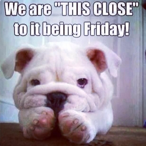 We Are This Close To It Being Friday Cute Bulldog Puppy