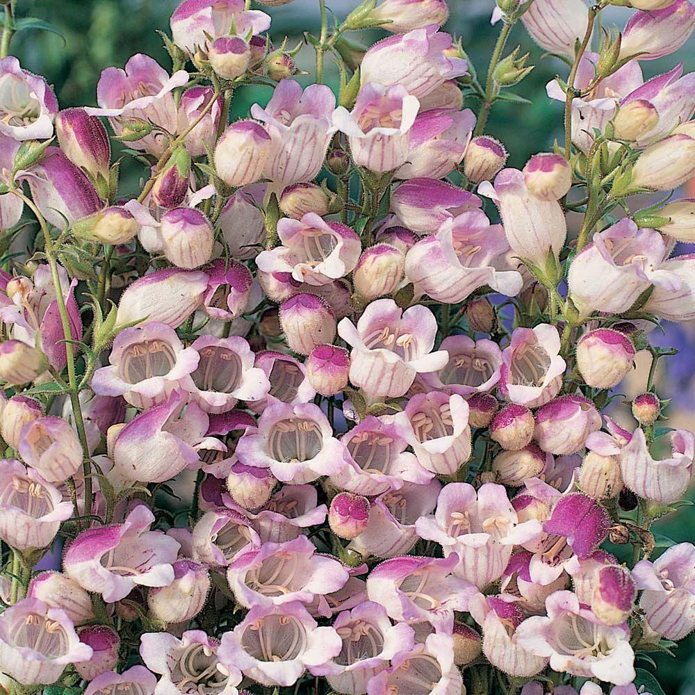 penstemon x hybrida 39 lilac frost 39 beard tongue fleurs. Black Bedroom Furniture Sets. Home Design Ideas