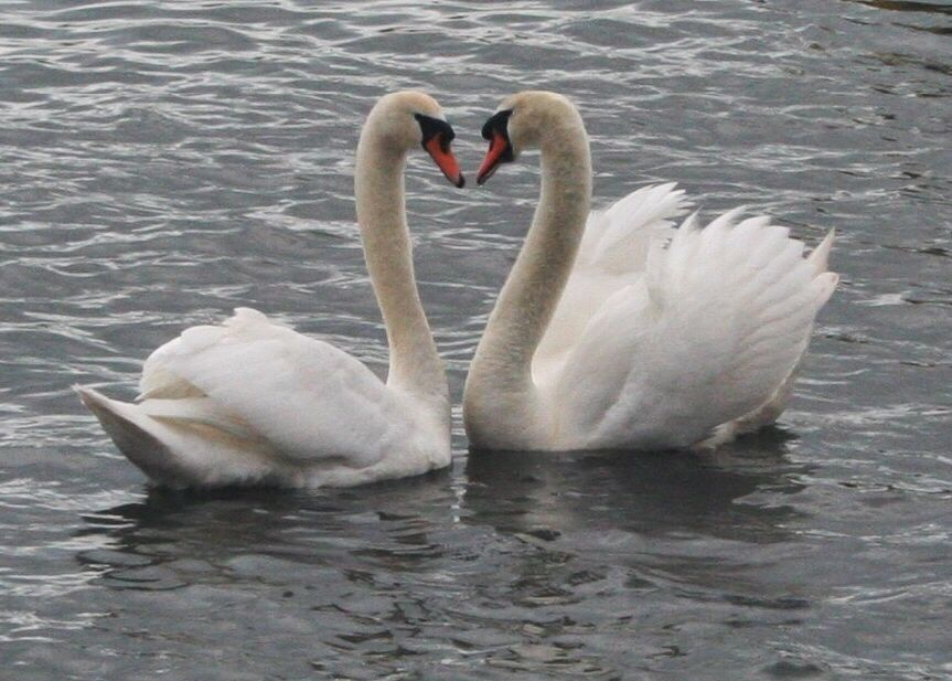 Heart shaped swans I took of in Christchurch Quay