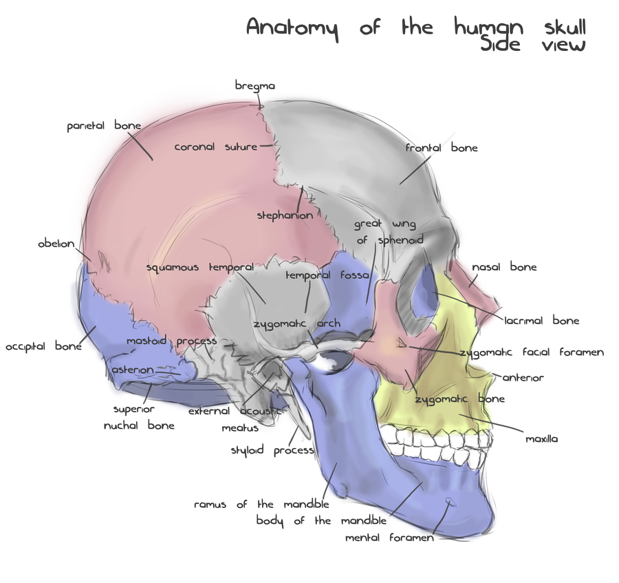 A Side Of Skull Diagram - Block And Schematic Diagrams •
