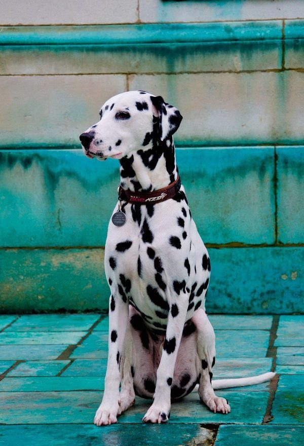 TheDalmatian is abreedof largedog,[3]noted for its unique black or liver spotted coat and mainly used as acarriage dogin its early days. Its roots trace back toCroatiaand its historical region ofDalmatia.[4][5]Today, it is a popular family pet, and many dog enthusiasts enter Dalmatians into kennel club competitions.