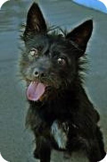 Wirehaired Fox Terrier Mix Dog For Adoption In Fort Smith