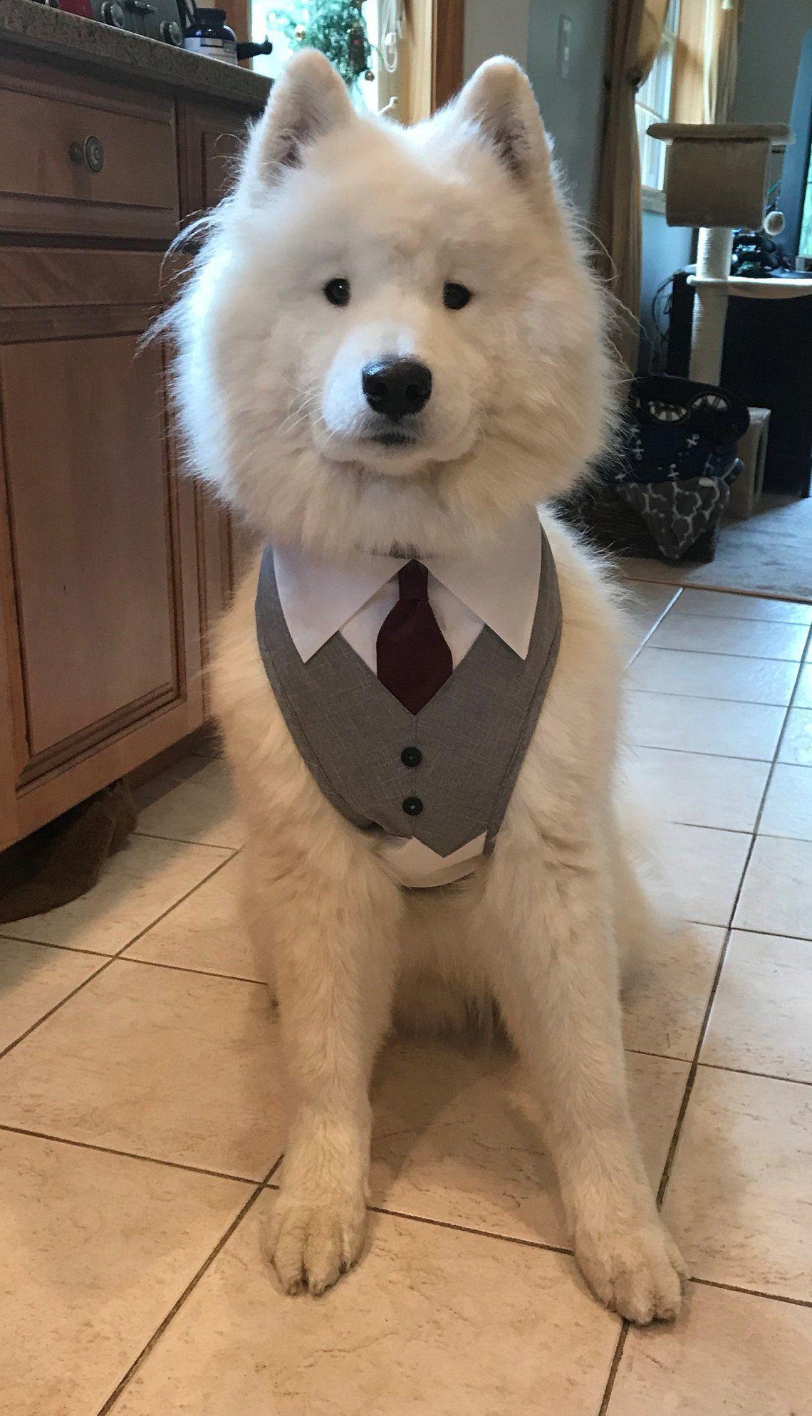 Large and extra Large Dog Tuxedo with Tie. Wedding Dog Tuxedo, Large & Extra Large Dog Wedding Harness, dog ring bearer tuxedo, dog collar
