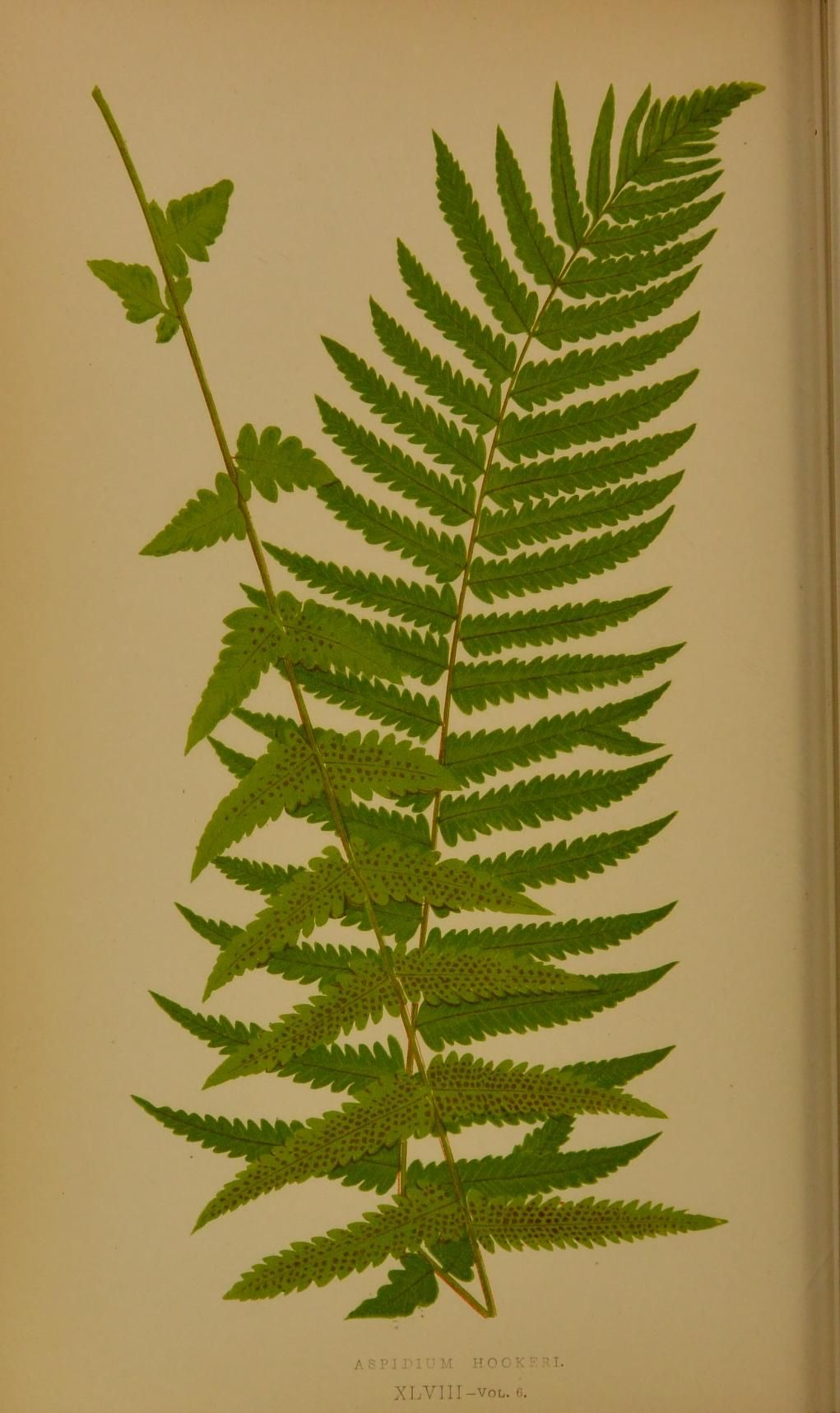 d8d8017caf660 Ferns: British and exotic... - 1856 | Biodiversity Heritage Library ...