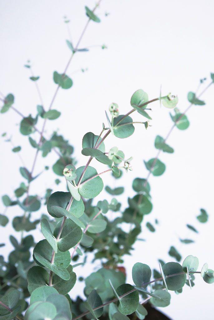 eucalyptus gunni azura cidergomboom koortsboom botanical green plants plant leaves et. Black Bedroom Furniture Sets. Home Design Ideas