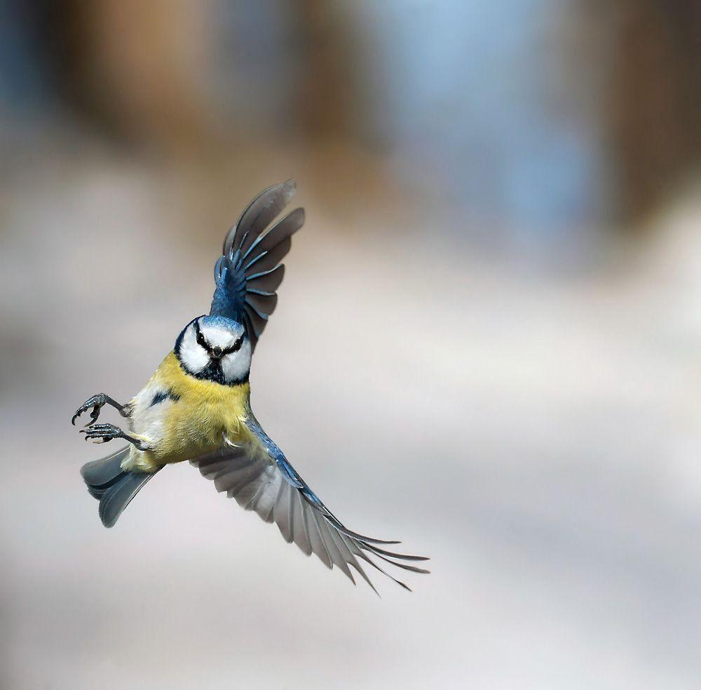 blaumeise im anflug  blaumeise vogel malvorlagen meise