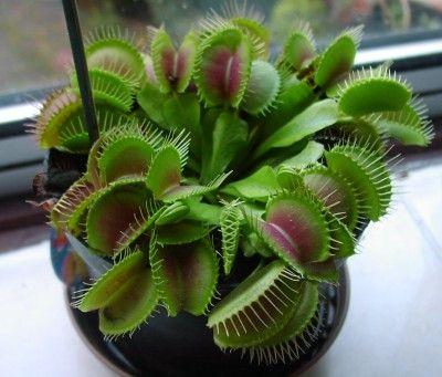 Venus Flytrap Problems Tips On Getting A Venus Flytrap To Close Venus Flytrap Plant Venus Fly Trap Carnivorous Plants
