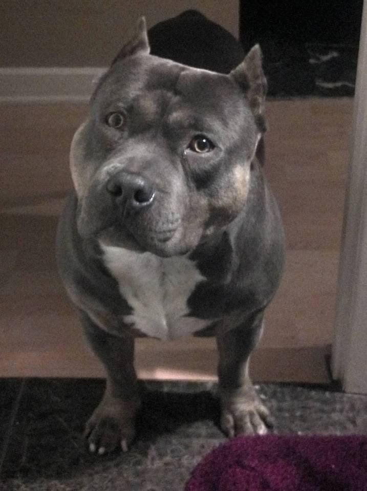 My Funny And Cute Pit Bull Bully Dog Talking I Love
