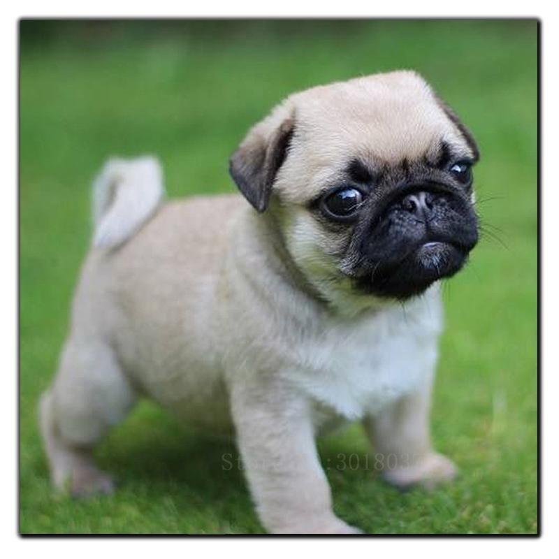 Diy Diamond Painting Pug 1 Cute Pug Puppies Cute Pugs Baby Pugs