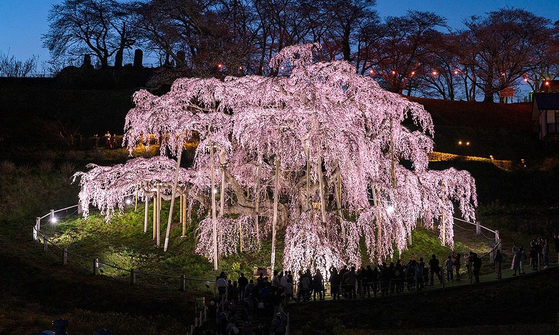 Pin By Jeff Jones On Imagine The Real World Cherry Tree Japan Travel Planting Flowers