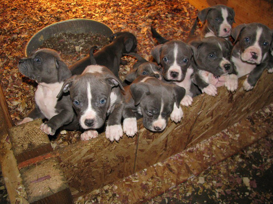 Pitbulls For Autumn Blue Red Nose Pitbull Puppies Xl Pitbulls