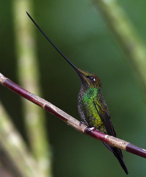 The swordbill hummingbird has evolved a long beak to avoid ...