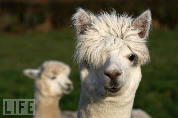 Life Llamas With Hipster Haircuts Llamas Pinterest Animal - 22 hilarious alpaca hairstyles